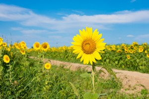 2016-08-sunflower-free-photo1-thumbnail